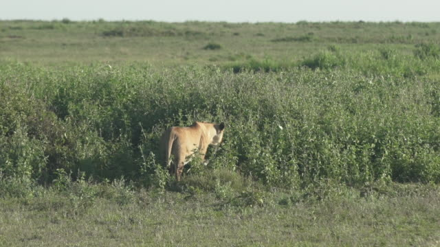 lioness walking away from camera - wiese stock videos & royalty-free footage