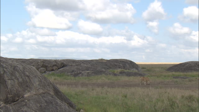 a lioness walking by the rocks at serengeti national park, tanzania - carnivora stock videos and b-roll footage