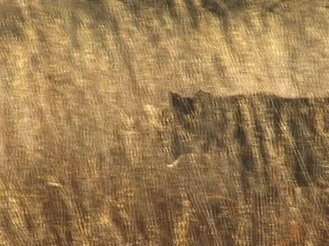 Lioness walking in long grass