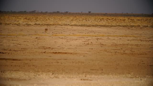 WS Lioness walking in savannah / Namibia