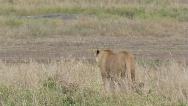 a lioness walking in the bushes at serengeti national park, tanzania - carnivora stock videos and b-roll footage