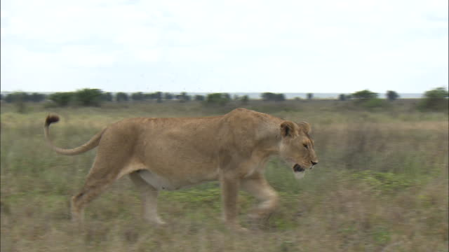 a lioness walking on the grass at serengeti national park, tanzania - carnivora stock videos and b-roll footage