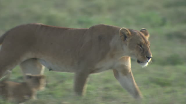 vídeos de stock, filmes e b-roll de a lioness walking on the grass in serengeti national park, tanzania - bigode de animal