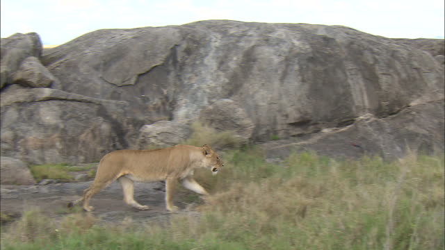 a lioness walking on the rock at serengeti national park, tanzania - carnivora stock videos and b-roll footage