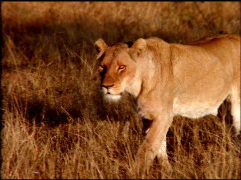 Lioness walking through dry grasses in bush land, Botswana
