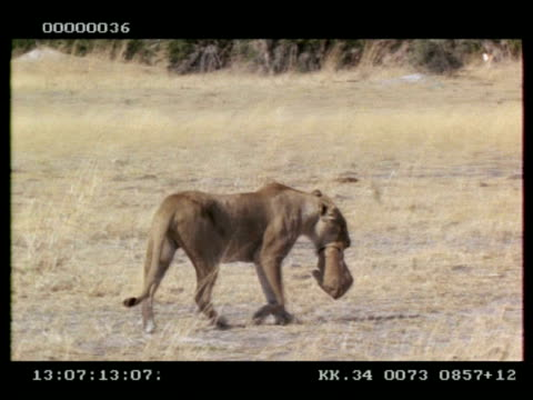 MS lioness walking with cub in her mouth
