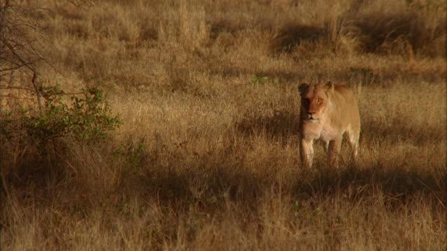 vídeos y material grabado en eventos de stock de a lioness walks across a savanna. available in hd. - paso largo