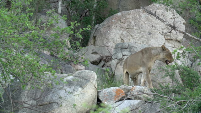 A lioness walks amongst rocky boulders and shrubs in the Kruger National Park, South Africa