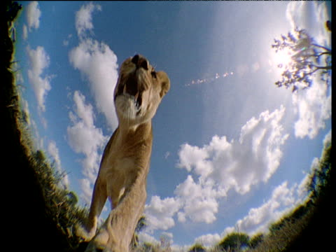lioness walks directly over camera, blue sky and clouds in background, africa - under her feet stock videos & royalty-free footage