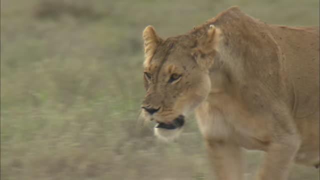 vídeos de stock, filmes e b-roll de a lioness walks on the grass in serengeti national park, tanzania - grupo pequeno de animais