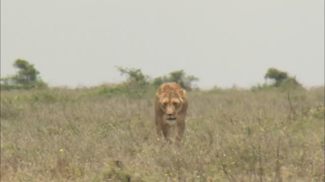 a lioness walks on the meadow in serengeti national park, tanzania - ライオン点の映像素材/bロール