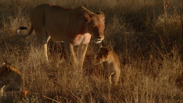 a lioness walks with her cubs across a savanna. available in hd. - ボツワナ点の映像素材/bロール