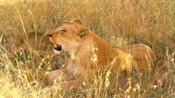 Lioness with a cub, Masai Mara