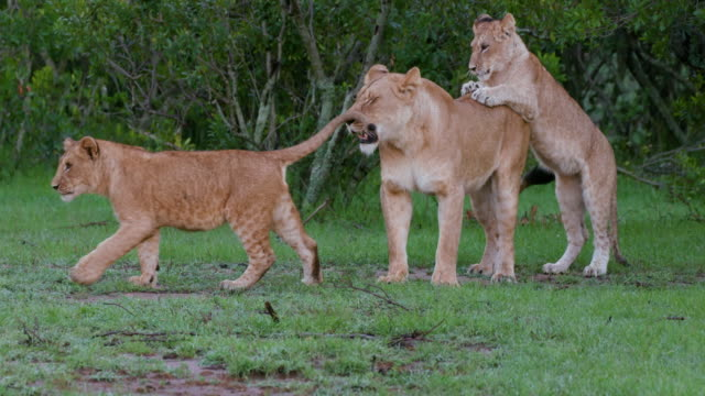 lioness with cubs, maasai mara, kenya, africa - young animal video stock e b–roll
