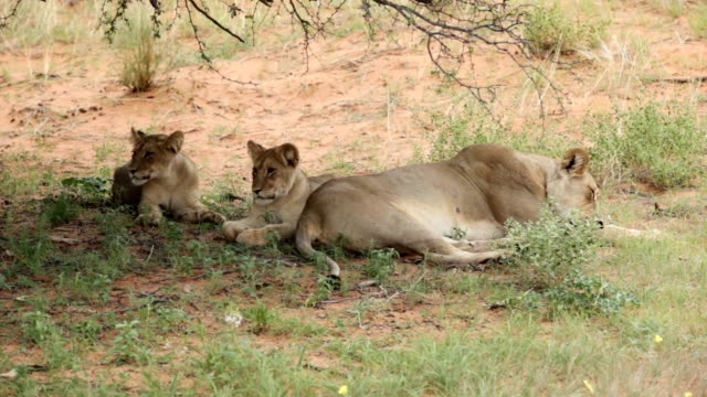 Lioness with two young cubs lying in the shade of a tree, Kgalagadi Transfrontier Park, South Africa