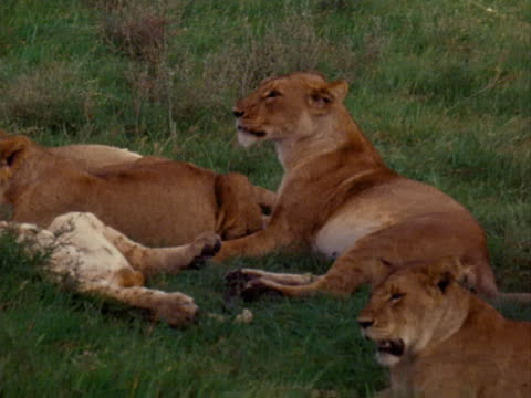 lionesses and cub - vier tiere stock-videos und b-roll-filmmaterial