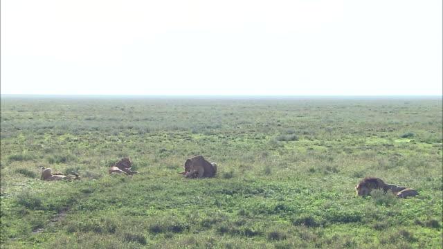 lionesses and lion cubs lying down on the grass in serengeti national park, tanzania - kleine gruppe von tieren stock-videos und b-roll-filmmaterial