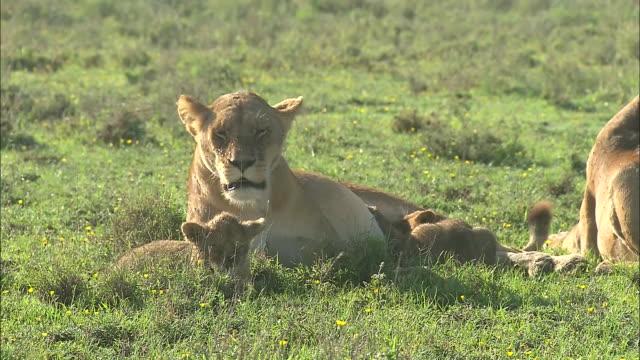 vídeos y material grabado en eventos de stock de lionesses and lion cubs sitting down on the grass in serengeti national park, tanzania - grupo pequeño de animales