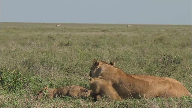vídeos de stock, filmes e b-roll de lionesses and lion cubs sitting down on the grass in serengeti national park, tanzania - grupo pequeno de animais