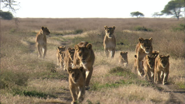 lionesses and lion cubs walking in two lines - young animal stock-videos und b-roll-filmmaterial