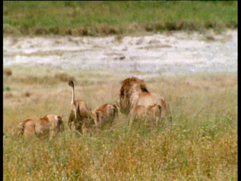 lionesses attack male lion includes lionesses biting camera, masai mara - domination stock videos and b-roll footage