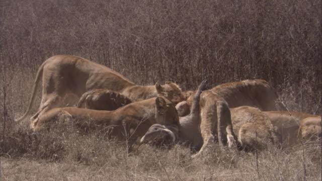 vídeos de stock, filmes e b-roll de lionesses kill warthog. available in hd. - javali africano