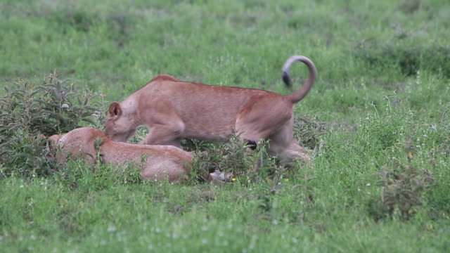 lionesses laying down, then 2 stand - wiese stock videos & royalty-free footage