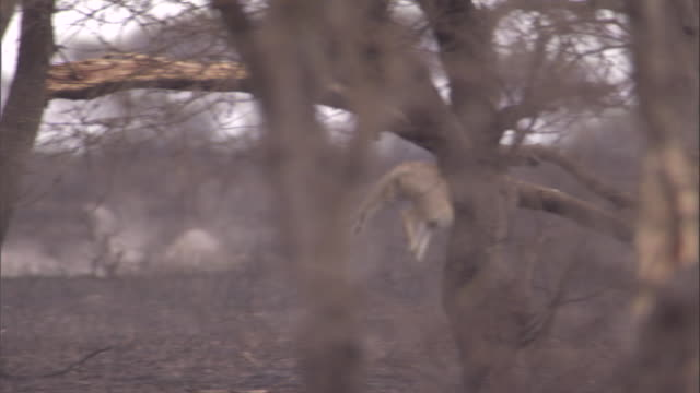 Lionesses pursue and kill a warthog. Available in HD.