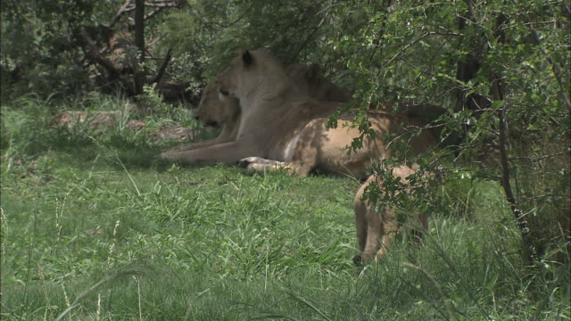 lionesses rest in the shade of a tree. - shade stock videos & royalty-free footage