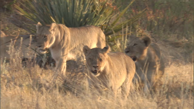Lionesses walk through the grass.