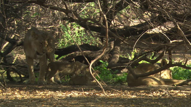 lionesses with small cubs under the tree - natural parkland stock videos & royalty-free footage