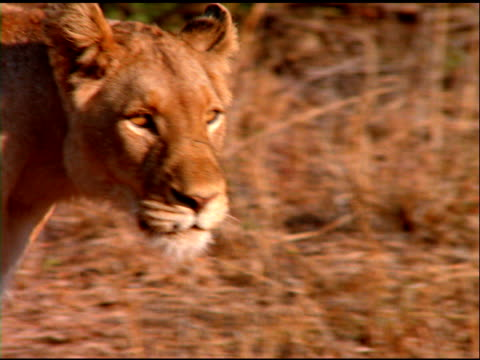 Lioness's head with ears back as it walks through bush land, Botswana