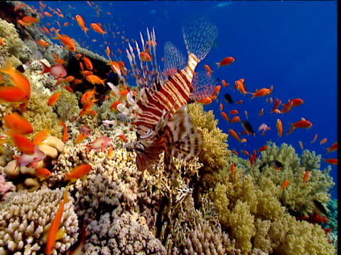 lionfish and scalefin anthias swim over coral reef, red sea - lionfish stock videos & royalty-free footage