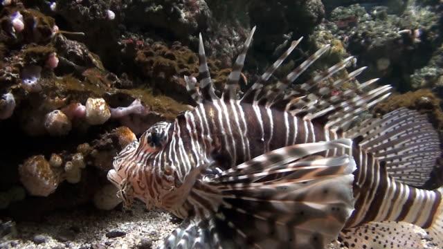 rotfeuerfisch nahaufnahme hd-videos - drachenkopf stock-videos und b-roll-filmmaterial