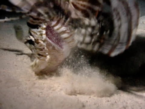 lionfish feeding at night gobbles little fish, ominous shadow of lionfish ws - pterois video stock e b–roll