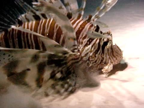 vídeos y material grabado en eventos de stock de lionfish feeding at night gobbles little fish, ominous shadow of lionfish ws - rascacio