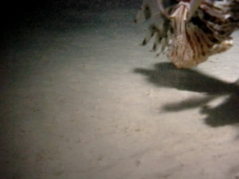 vídeos y material grabado en eventos de stock de lionfish feeding at night, grabs little fish, ominous shadow of lionfish ws - rascacio