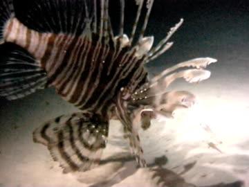 lionfish feeding at night grabs little fish ws - drachenkopf stock-videos und b-roll-filmmaterial