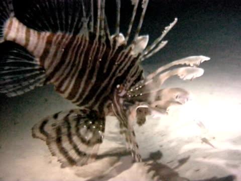vídeos y material grabado en eventos de stock de lionfish feeding at night grabs little fish ws - rascacio