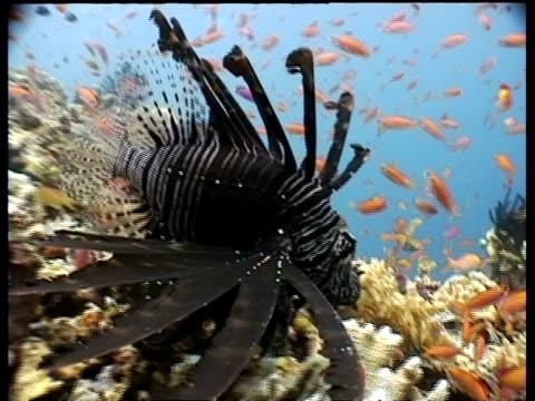 vídeos y material grabado en eventos de stock de lionfish, feeding on reef at night, sipadan, borneo, malaysia - rascacio