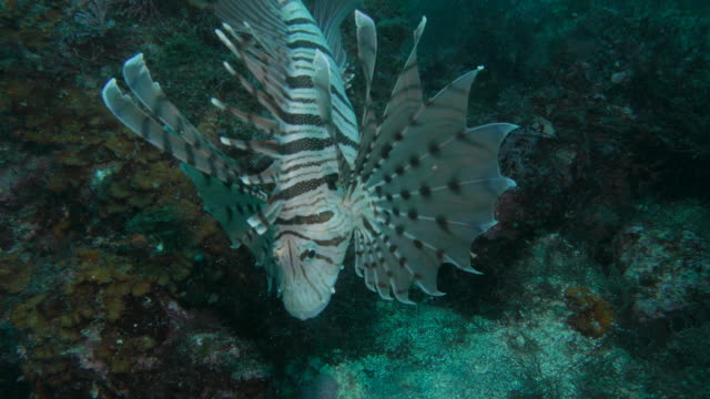 Lionfish hunting in the reef