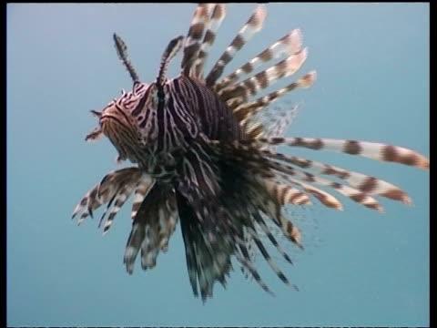 vídeos y material grabado en eventos de stock de cu lionfish, hunting shoal of small fish, mabul, borneo, malaysia - rascacio