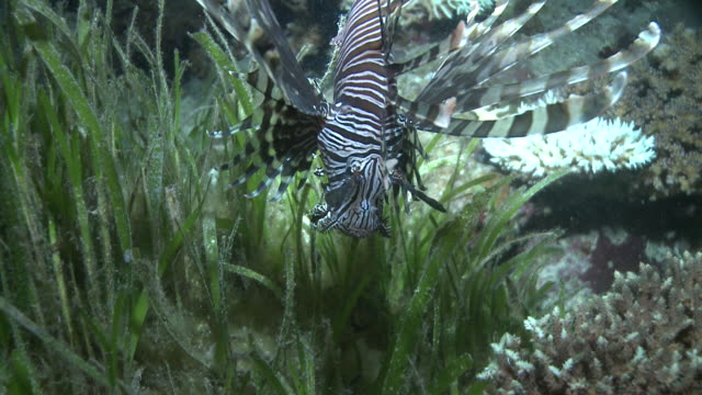 Lionfish (Pterois sp.) hunting, Southern Visayas, Philippines