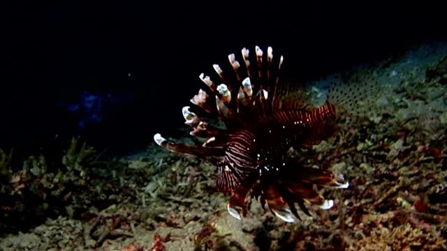 lionfish in ocean