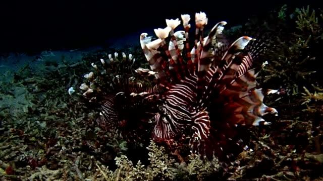 rotfeuerfisch im ozean - exotik stock-videos und b-roll-filmmaterial