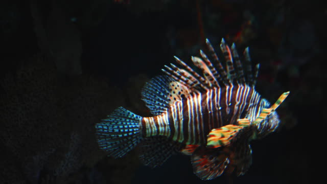 stockvideo's en b-roll-footage met lionfish in de zee - onder