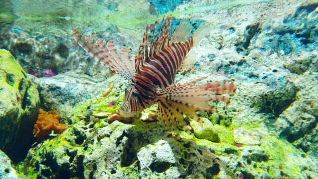 lionfish in underwater world of deep sea animal with coral stone - aquarium stock videos & royalty-free footage