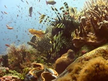 lionfish  mcu as glides over coral l-r - drachenkopf stock-videos und b-roll-filmmaterial