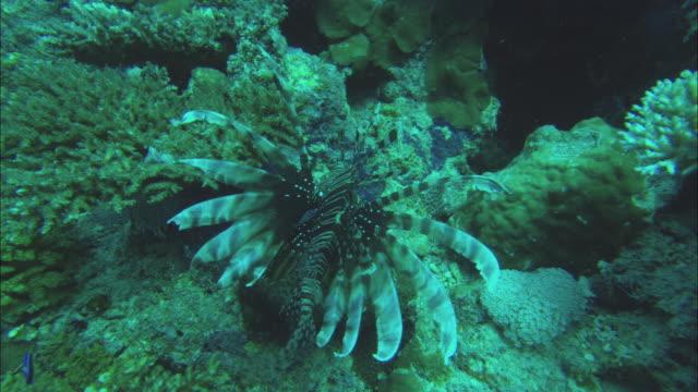vídeos y material grabado en eventos de stock de ms zi lionfish (family scorpaenidae) near corals in great barrier reef / queensland, australia - rascacio