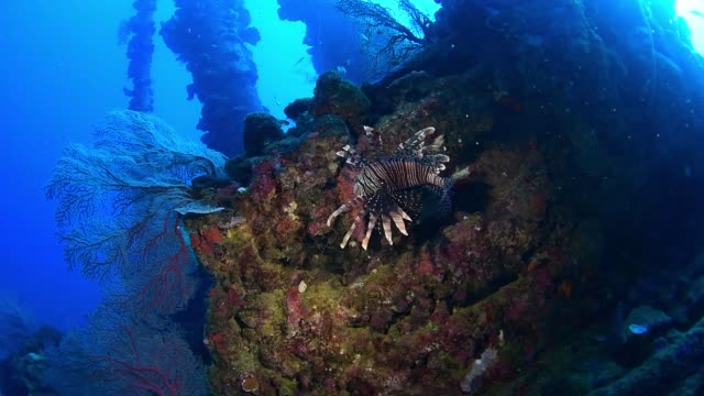 vídeos y material grabado en eventos de stock de lionfish on nippo maru, underwater wrecks, truk lagoon, chuuk micronesia - rascacio